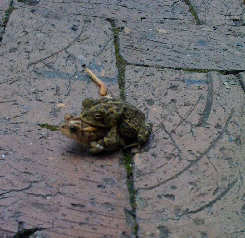 Frogs humping