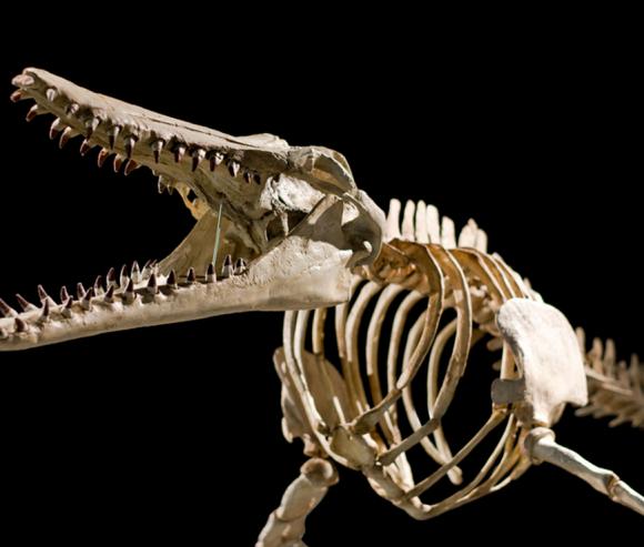 Charleston Museum Dinosaur